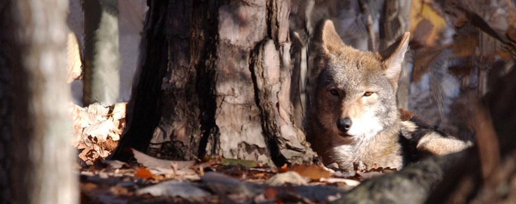 Red Wolf - NC Zoo Media Library